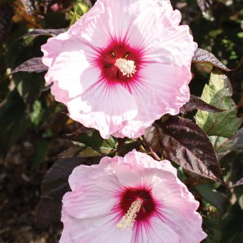 Head Over Heels Blush from Star Roses and Plants - Year of the Hardy Hibiscus - National Garden Bureau