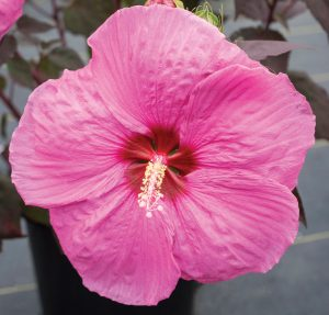 Head Over Heels Passion from Star Roses and Plants - Year of the Hardy Hibiscus - National Garden Bureau