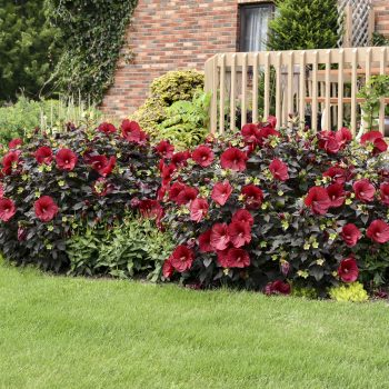 Holy Grail from Walters Garden - Year of the Hardy Hibiscus - National Garden Bureau