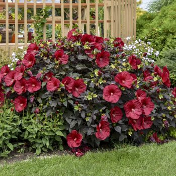 Holy Grail from Walters Gardens - Year of the Hardy Hibiscus - National Garden Bureau
