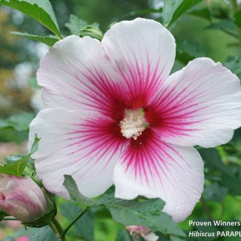 Paraplu Pink Ink Color Choice from Spring Meadow - Year of the Hardy Hibiscus - National Garden Bureau