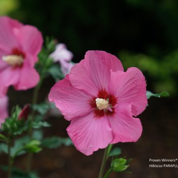 Paraplu Rouge Color Choice from Spring Meadow - Year of the Hardy Hibiscus - National Garden Bureau
