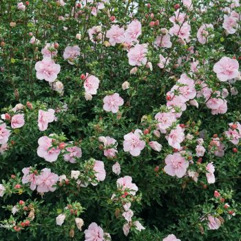 Pink Chiffon Color Choice from Spring Meadow - Year of the Hardy Hibiscus - National Garden Bureau