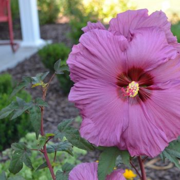 Plum Flambe Summer Spice from JBerry - Year of the Hardy Hibiscus - National Garden Bureau