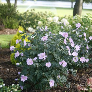 Pollypetite Color Choice from Spring Meadow - Year of the Hardy Hibiscus - National Garden Bureau