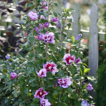 Purple Pillar Color Choice from Spring Meadow - Year of the Hardy Hibiscus - National Garden Bureau