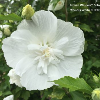 White Chiffon Color Choice from Spring Meadow - Year of the Hardy Hibiscus - National Garden Bureau