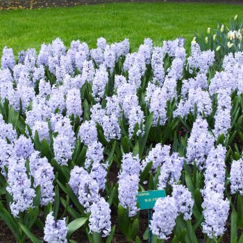 Blue Eyes from Dutch Grown - Year of the Hyacinth - National Garden Bureau