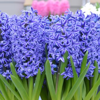 Blue Jacket from Dutch Grown - Year of the Hyacinth - National Garden Bureau