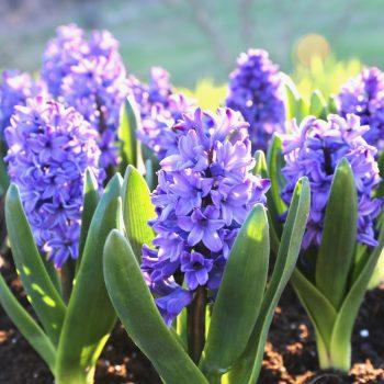 Blue Jacket Longfield Gardens - Year of the Hyacinth - National Garden Bureau