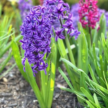 Blue Jacket from Longfield Gardens - Year of the Hyacinth - National Garden Bureau