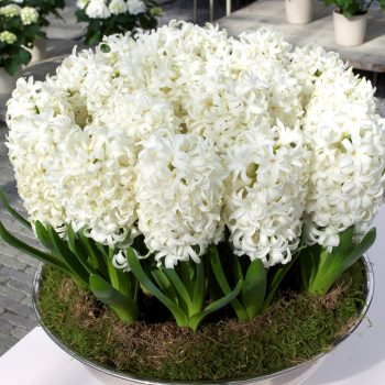 Carnegie White from Dutch Grown - Year of the Hyacinth - National Garden Bureau