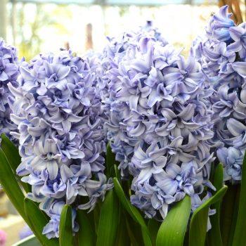 Double Blue Tango from Dutch Grown - Year of the Hyacinth - National Garden Bureau