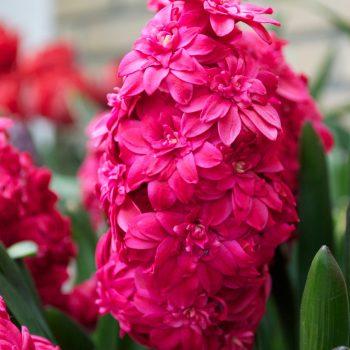 Double Hollyhock from Dutch Grown - Year of the Hyacinth - National Garden Bureau
