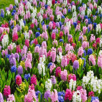 Empire State Mix from Dutch Grown - Year of the Hyacinth - National Garden Bureau
