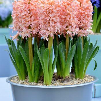 Gipsy Queen from Dutch Grown - Year of the Hyacinth - National Garden Bureau