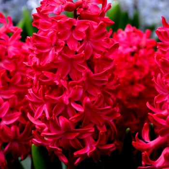 Jan Bos Red from Dutch Grown - Year of the Hyacinth - National Garden Bureau