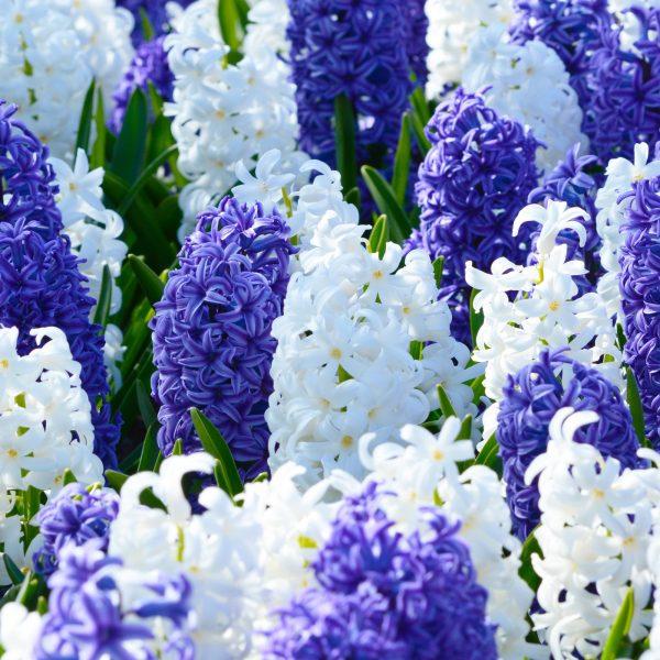 Kansas Mix Blue White from Dutch Grown - Year of the Hyacinth - National Garden Bureau