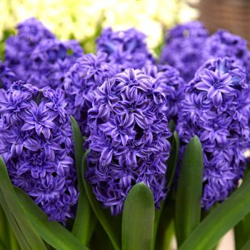 Royal Navy Blue from Dutch Grown - Year of the Hyacinth - National Garden Bureau