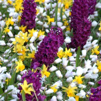 Woodstock from Dutch Grown - Year of the Hyacinth - National Garden Bureau