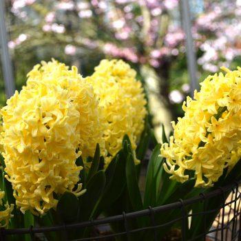 Yellow Queen from Dutch Grown - Year of the Hyacinth - National Garden Bureau