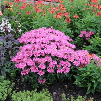 Balmy Pink from Darwin Perennials - Year of the Monarda - National Garden Bureau