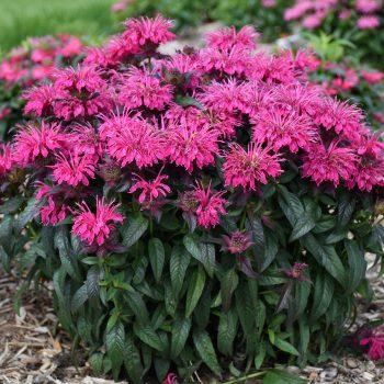 Berry Taffy from Walters Garden - Year of the Monarda - National Garden Bureau