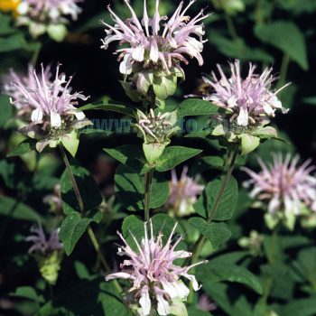 Bradburiana from Jelitto - Year of the Monarda - National Garden Bureau