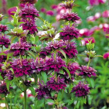 Citriodora Hybrid Bergamo from Jelitto - Year of the Monarda - National Garden Bureau