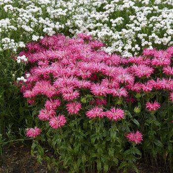 Electric Neon Pink from Walters Gardens - Year of the Monarda - National Garden Bureau