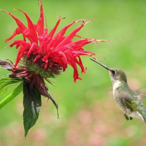 Jacob Cline from American Meadow - Year of the Monarda - National Garden Bureau