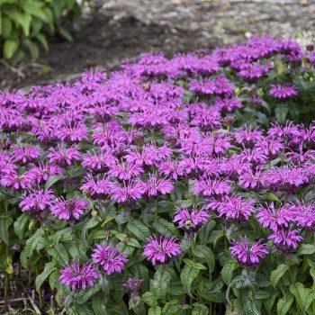 Leading Lady Plum - Year of the Monarda - National Garden Bureau