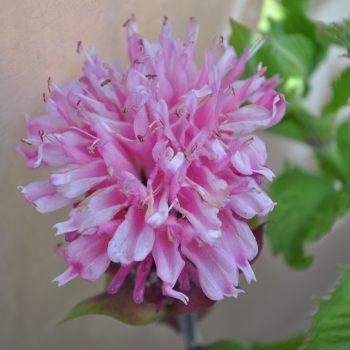 Marje Pink from Green Fuse - Year of the Monarda - National Garden Bureau