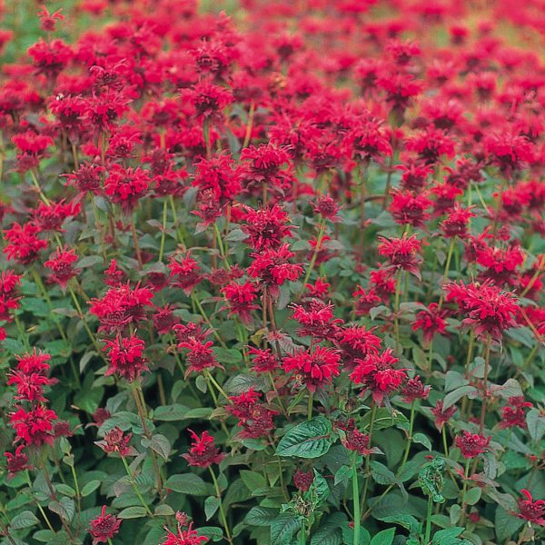 Panorama Red from Benary - Year of the Monarda - National Garden Bureau