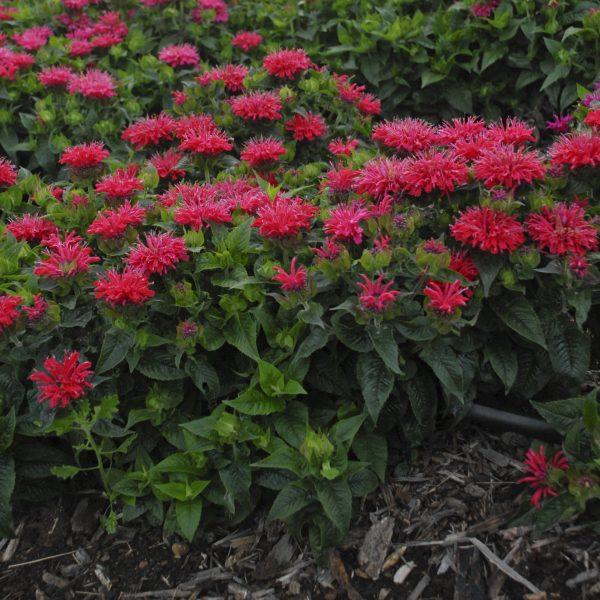 Pardon My Cerise from Walters Garden - Year of the Monarda - National Garden Bureau