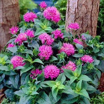 Purple Petite Delight from American Meadows - Year of the Monarda - National Garden Bureau