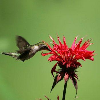Scarlet didyma from American Meadows - Year of the Monarda - National Garden Bureau