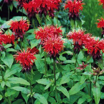 Goldmelisse didym from Jelitto - Year of the Monarda - National Garden Bureau