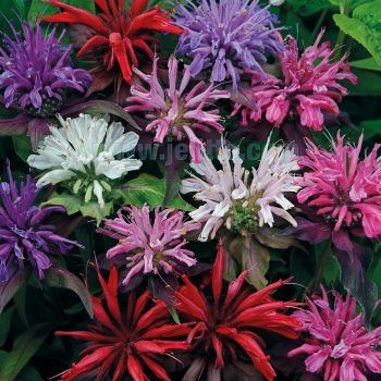 Panorama Mix didyma from Jelitto - Year of the Monarda - National Garden Bureau