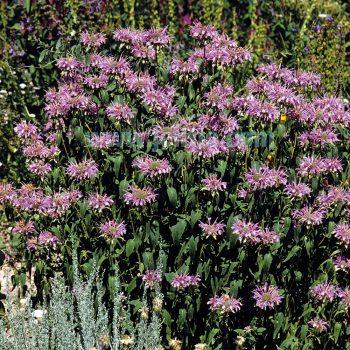 fistulosa from Jelitto - Year of the Monarda - National Garden Bureau