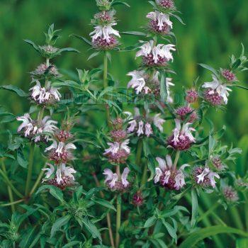 Pectinata from Jelitto - Year of the Monarda - National Garden Bureau