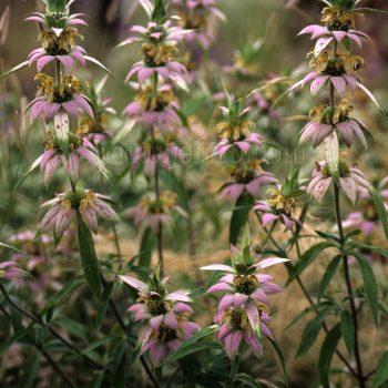 punctata from Jelitto - Year of the Monarda - National Garden Bureau