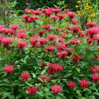 didyma from Darwin Perennials - Year of the Monarda - National Garden Bureau