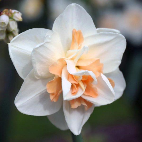 Delnash Daffodils - late blooming Favorite Daffodils - National Garden Bureau