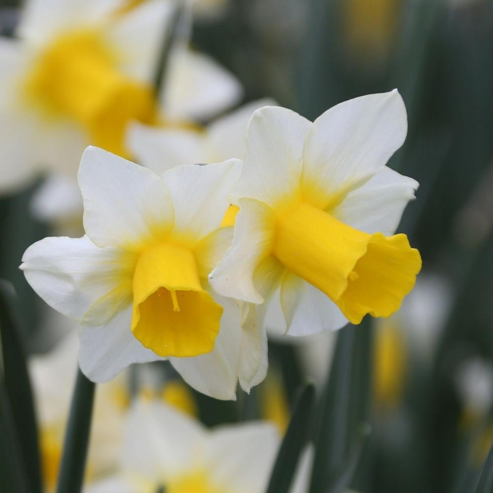 Narcissus Golden Echo - shorter favorite daffodils that are perfect for front of the garden bed - National Garden Bureau