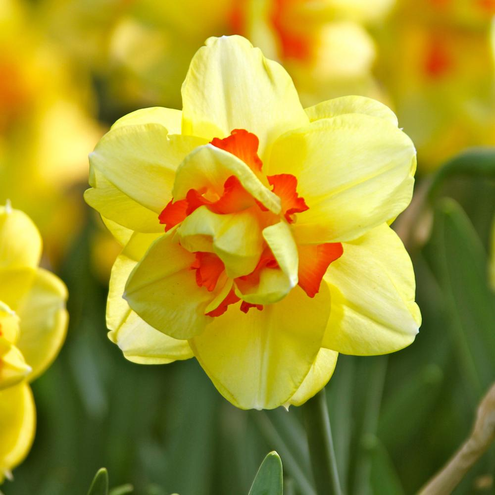 Narcissus Tahiti - excellent double daffodil for spring beauty - National Garden Bureau