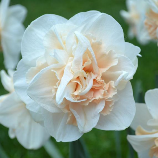 Daffodil Pink Champagne - double daffodil with pointy white outer petals and a center of pink - National Garden Bureau