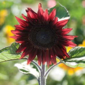 ProCut Red Johnny's Selected Seeds - Year of the Sunflower