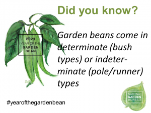 Garden Beans come in determinate (bush types) or indeterminate (pole/runner) types - Year of the Garden Bean - National Garden Bureau