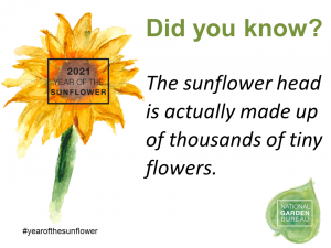 The sunflower head is actually made up of thousands of tiny flowers - Year of the Sunflower - National Garden Bureau
